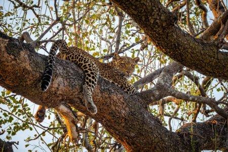 Photo pour Vue inférieure spectaculaire du léopard sur l'arbre en regardant la caméra - image libre de droit
