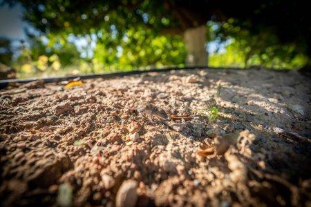 Photo pour Gros plan de Mus spretus bébé souris sentant autour dans une terre cultivée - image libre de droit