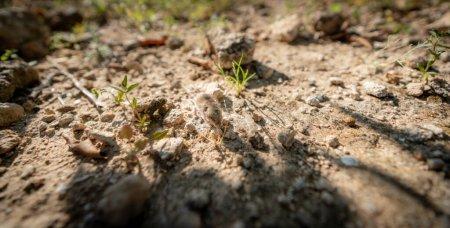 Photo pour Gros plan grand angle de Mus spretus bébé souris sentant autour dans une terre cultivée - image libre de droit