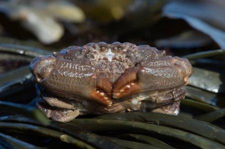 Photo pour Crabe xanthide (Pilumnus hirtellus) ) - image libre de droit