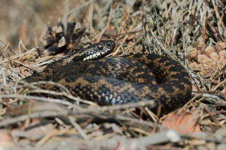 Photo for Common European Viper (Vipera berus) basking in dry heather - Royalty Free Image