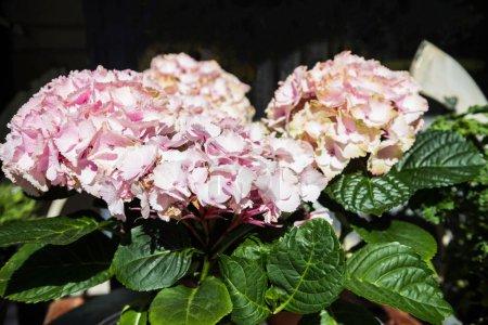 Foto de Cerrar vista de flor de Hortensia rosa hermosa - Imagen libre de derechos