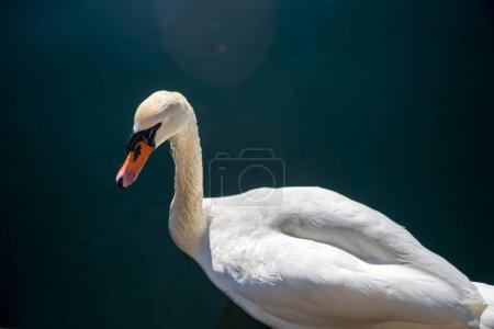 Photo pour Vue rapprochée du beau cygne blanc nage sur l'eau - image libre de droit