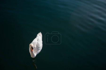 Photo pour Vue de dessus du beau cygne blanc flottant sur l'eau - image libre de droit