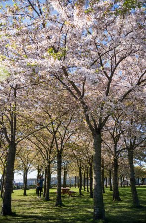Photo for Girl in park with beautiful blossoming trees, copenhagen, denmark - Royalty Free Image
