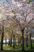 """Постер, картина, фотообои """"девушка в парке с красиво цветущие деревья, Копенгаген, Дания"""""""