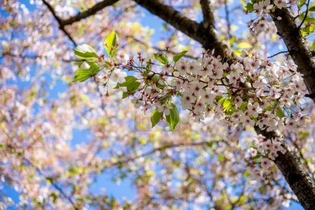 Photo for Beautiful blossoming cherry tree branches against blue sky at sunny day, selective focus - Royalty Free Image