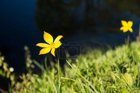Photo pour Vue rapprochée de la belle fleur jaune en fleurs et de l'herbe verte, mise au point sélective - image libre de droit