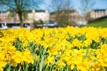 Photo for Close-up view of beautiful blooming yellow daffodils and blurred architecture of copenhagen on background - Royalty Free Image