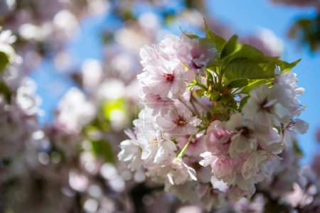 selective focus of flowers on branches of cherry blossom tree