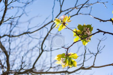 flowers on branches of tree against cloudless blue sky