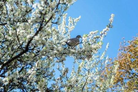 Photo pour Pigeon, assis sur une branche avec des fleurs de cerisiers en fleurs arbre au jardin botanique - image libre de droit