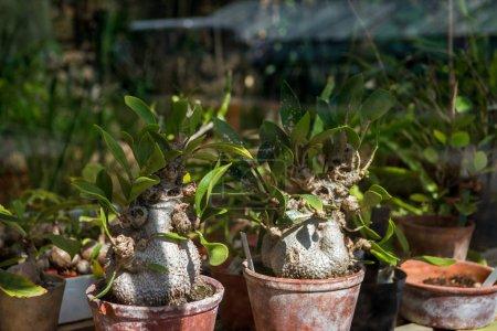 selective focus of adenium plants in botanical garden