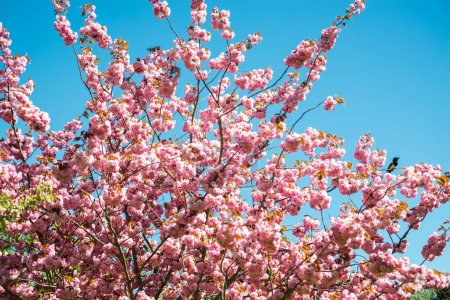 Low angle view of sakura tree against bright blue ...