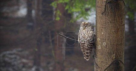 Photo pour Hibou de l'Oural, Strix uralensis, dormant dans une forêt cachée par un arbre. Oiseau nocturne en milieu naturel. Animaux détendus dans la nature . - image libre de droit