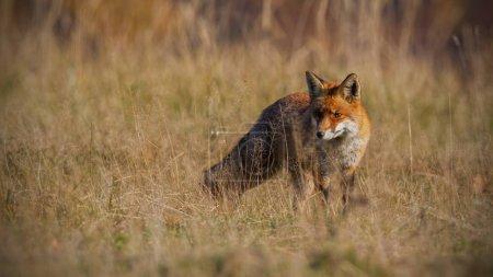 Photo pour Le renard roux, vulpes vulpes, à l'automne avec herbe sèche flou en arrière-plan. Gros plan du prédateur à la recherche d'une proie. Paysage de la faune avec des animaux sauvage dans la nature. - image libre de droit