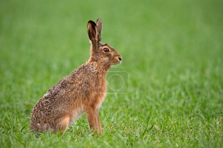Photo for European brown hare, lepus europaeus in summer with green blurred background. Detailed close-up of wild rabbit. - Royalty Free Image