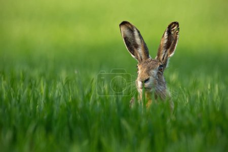 Photo for Wild European Hare, Lepus Europaeus, Close-Up On Green Background. Wild Brown Hare With Yellow Eyes, Sitting On The Green Grass Under The Sun. Muzzle Of European Brown Hare Among Green Wheat with - Royalty Free Image