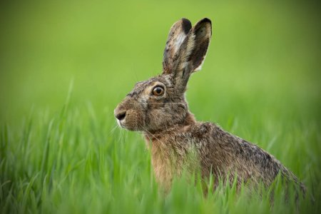 Photo for Portrait of brown hare with clear blurred green background. Wild rabbit in grass. - Royalty Free Image