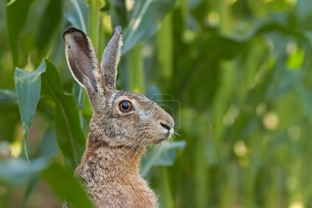 Photo for Alert European brown Hare, Lepus europaeus, facing the camera. Portrait of wild animal. Close-up of bunny in corn field. - Royalty Free Image