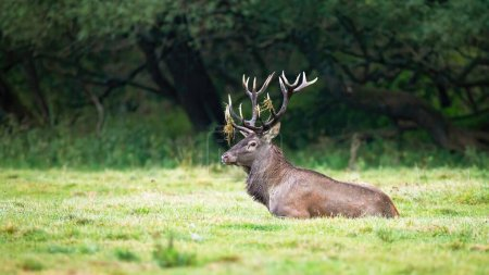 Ciervo rojo territorial acostado y descansando en una naturaleza tranquila .