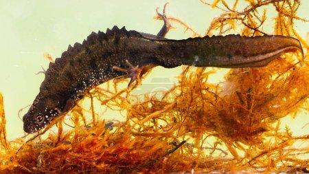 Photo pour Triton à crête du Danube mâle, triturus dobrogicus, se cachant entre les herbes aquatiques au fond de la rivière. Espèces en voie de disparition d'animaux aquatiques nageant dans les marais. - image libre de droit