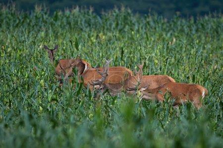 Photo pour Groupe de cerfs rouges, cervus elaphus, mangeant sur le champ de maïs pendant l'été. Troupeau d'animaux se tenant dans un pays agricole avec des plantes vertes. - image libre de droit