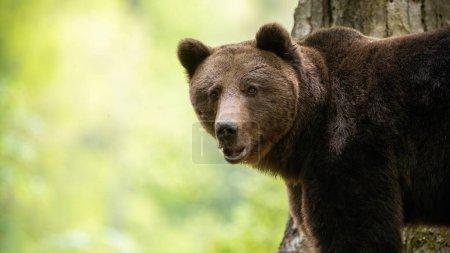 Photo pour Alerte ours brun, ursus arctos, regardant vers la caméra dans la forêt. Mammifère sauvage avec fourrure brune debout dans les bois en été. Gros animal regarder de près. - image libre de droit
