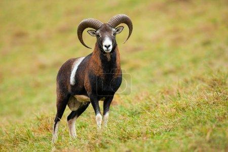 Calm mouflon, ovis orientalis, standing on meadow ...