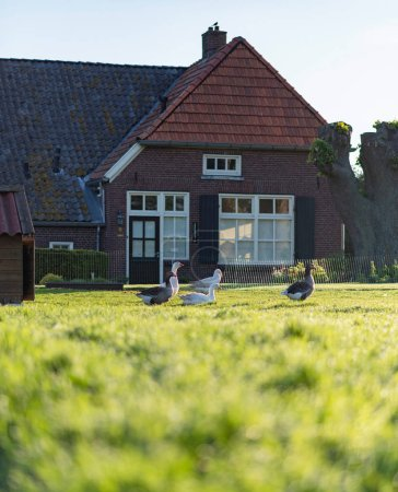 Farmhouse with geese in front yard during spring