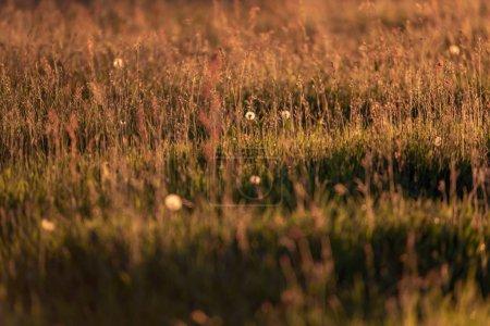 Faded dandelions in spring meadow backlight in evening sun