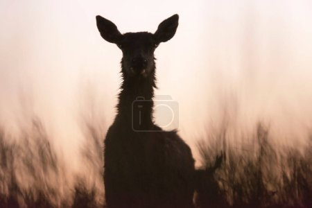 Silhouette of red deer female in tall grass at dusk