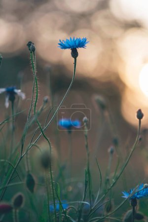 Blooming cornflowers on meadow in backlight of evening sun
