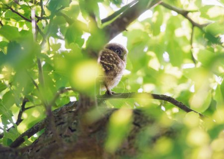 Little owl young on branch between green leaves