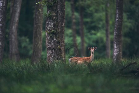 Photo for Male fallow deer with antlers in velvet in forest. - Royalty Free Image