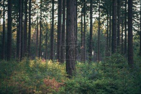 Photo pour Troncs d'arbres dans les forêts de pins. - image libre de droit