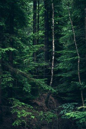 White birch tree trunks