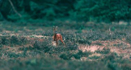 Photo pour Chevreuil chevreuil buck se dresse dans le paysage bruyère . - image libre de droit