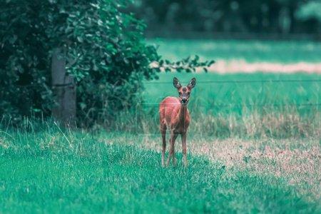 Photo pour Chevreuil biche dans la prairie en été . - image libre de droit