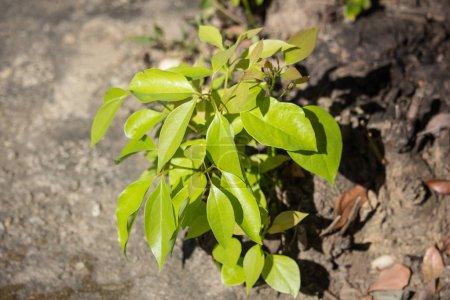 Young Green Leaf of Cinnamomum camphora tree