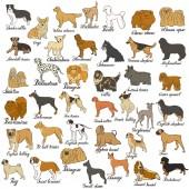 Big vector dog set Various dog breed isolated on white Companion decorative and gun dog shepherd hound terrier beagle pointer retriever setter pug pomeranian spitz labrador schnauzer
