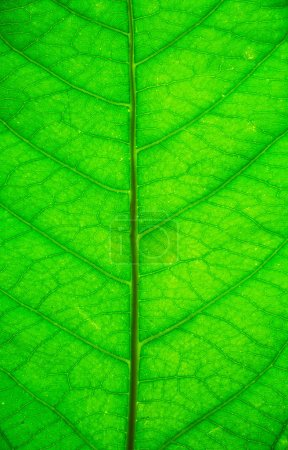 Photo for Green leaf background texture - Royalty Free Image