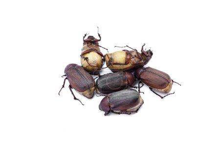 Photo pour Punaises brunes, gros plan - image libre de droit