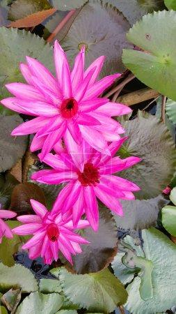 Photo pour Lily lotus flowers and leaves in pond - image libre de droit