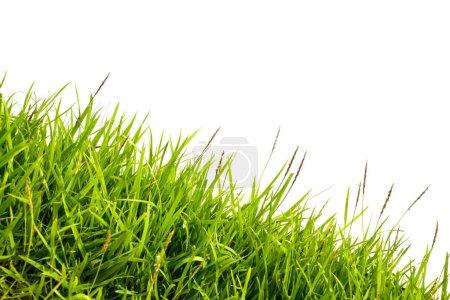 grünes Gras isoliert auf weißem Hintergrund