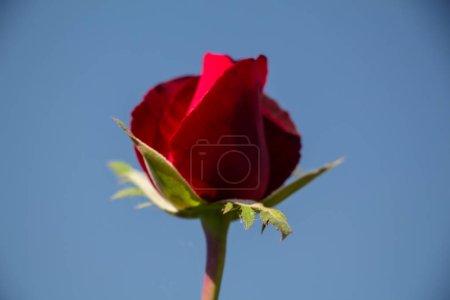 Photo pour Rose rouge, gros plan - image libre de droit