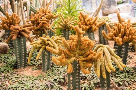 Photo pour Mammillaria cactus allongés sur prothèse - image libre de droit