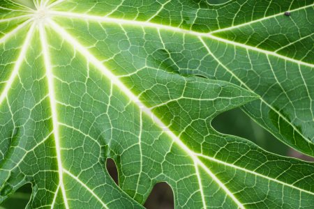 Photo for Papaya Leaf close up - Royalty Free Image
