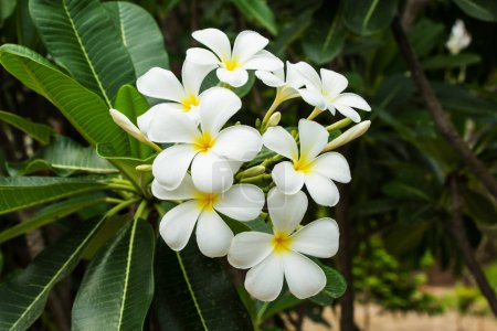 Photo for White blossom plumeria flowers - Royalty Free Image
