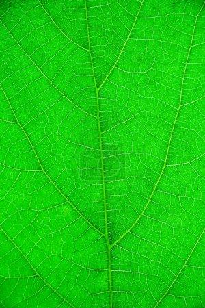 Photo pour Texture d'une feuille verte comme fond - image libre de droit